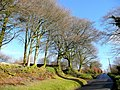 Beeches along the road - geograph.org.uk - 1623463.jpg