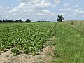 Beet crop by The Spout - geograph.org.uk - 473766.jpg