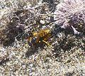 Beewolf. Philanthus triangulum.Dragging body of Honeybee to nest hole - Flickr - gailhampshire.jpg