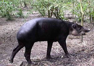 Mountain Pine Ridge Forest Reserve - Baird's tapir, the national animal of Belize, may be seen in the reserve
