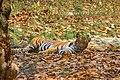 Bengal tiger at Bengal Safari Mahananda Wildlife Sanctuary.jpg