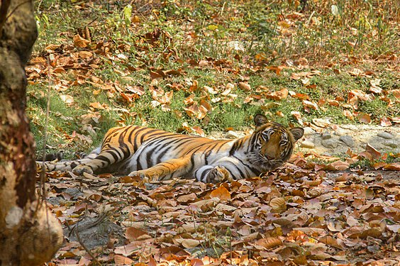 Bengal tiger at Bengal Safari Mahananda Wildlife Sanctuary.jpg