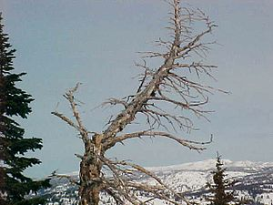 bent bare tree on mountain