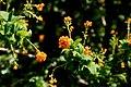 Berberis-empetrifolia-flowers.jpg