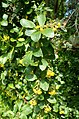 Berberis hispanica kz03.jpg