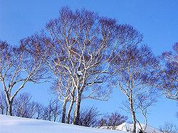 Betula ermanii (200612).jpg