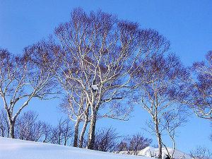 Betula ermanii - Image: Betula ermanii (200612)