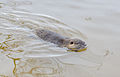 Biberratte - Nutria - coypu - Myocastor coypus - ragondin - castor des marais - Mönchbruch - December 25th 2012 - 05.jpg