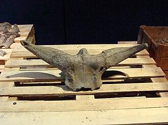 Bos palaesondaicus - Bos palaesondaicus skull at Naturalis.