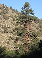 Big jeffrey pine Pinus jeffreyi Rock Creek.jpg