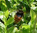Bilberry Bumblebee. Bombus monticola Queen - Flickr - gailhampshire.jpg