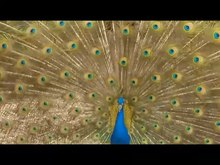 ᱨᱮᱫ:Biomechanics-of-the-Peacocks-Display-How-Feather-Structure-and-Resonance-Influence-Multimodal-pone.0152759.s002.ogv