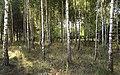 Birch forest near Grabacz , Las brzozowy w okolicy Grabacza - panoramio.jpg