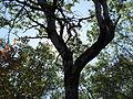 Birch silhouette (6166348945).jpg
