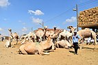 Birqash Camel Market, photo by Hatem Moushir 15.jpg