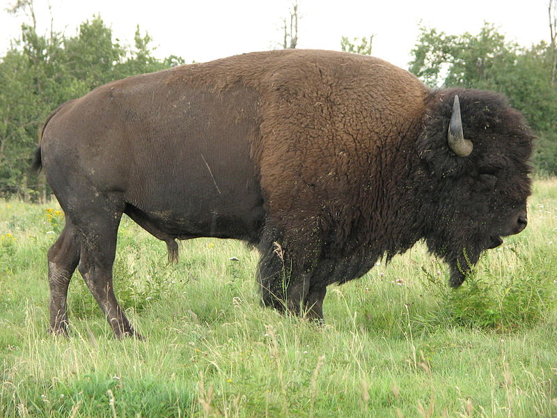 http://upload.wikimedia.org/wikipedia/commons/thumb/6/63/Bison_bison_d.jpg/800px-Bison_bison_d.jpg