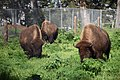 Bisons (214350053).jpeg