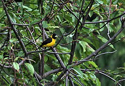 Black-&-Yellow Grosbeak (Male) I IMG 7362.jpg
