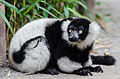 Black-and-white ruffed lemur 01.jpg