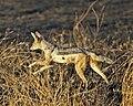Black-backed Jackal (Canis mesomeles) - Flickr - Lip Kee.jpg