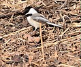 Black-capped Chickadee (25229073914).jpg