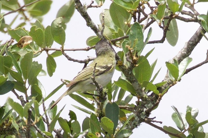 File:Black-capped Vireo-Kerr WMA-TX - 2015-05-24at12-51-315 (21421359418).jpg