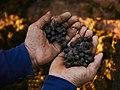 Black Ivory coffee beans.jpg