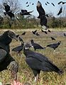 Black Vulture From The Crossley ID Guide Eastern Birds.jpg