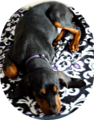 Black and Tan Coonhound Puppy, sleeping, age 5 months old.png