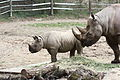 Black rhinoceros mother and calf at the Pittsburgh Zoo 02.jpg