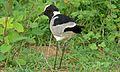 Blacksmith Lapwing (Vanellus armatus) (6002374959).jpg