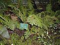 Blechnum gibbum.jpg