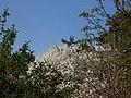 Blooming tree in Bulduri - panoramio.jpg