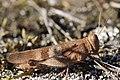 Blue-winged Grasshopper - Oedipoda caerulescens (20418403874).jpg