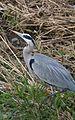 Blue Heron (4151265061).jpg
