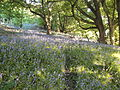 Bluebells along Whitwell Ashknowle Lane.JPG