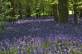 Bluebells in Brooches Wood - geograph.org.uk - 1275922.jpg
