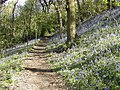 Bluebells on Woodhouse Ridge - geograph.org.uk - 12517.jpg