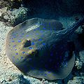 Bluespotted ray.JPG