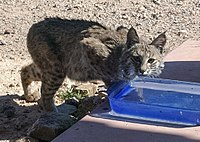 A Bobcat finds water in Tucson