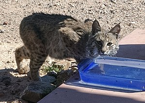 Bobcat - A bobcat finds water