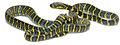 Boiga dendrophila divergens (PNM 969) from Santa Ana - ZooKeys-266-001-g076.jpg