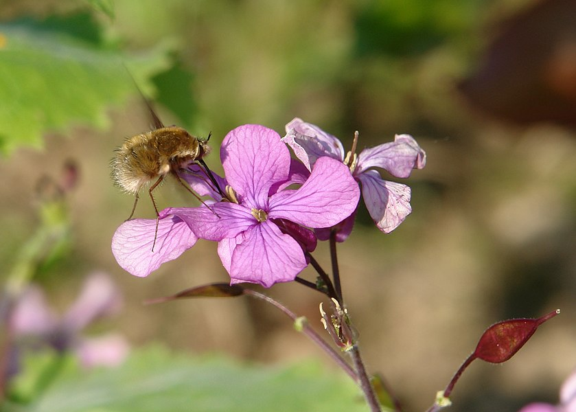 Bee fly (Bombylius major) gathering nectar on a pink flower.