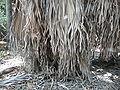 Borassus aethiopum 0069.jpg