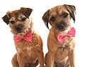 Border terriers with bow-ties.jpg