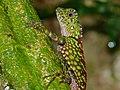Borneo Forest Dragon (Gonocephalus bornensis) (6748116677).jpg