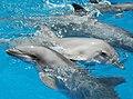 Bottlenose Dolphins (1499008891).jpg