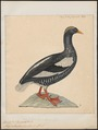 Branta antarctica - 1825-1839 - Print - Iconographia Zoologica - Special Collections University of Amsterdam - UBA01 IZ17600197.tif