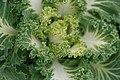 Brassica Nagoya White 2zz.jpg