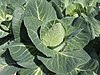Brassica oleracea convar.  capitata var.  alba, spitskool (1) .jpg